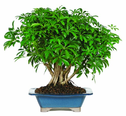 Brussels-Hawaiian-Umbrella-Tree-Bonsai-0