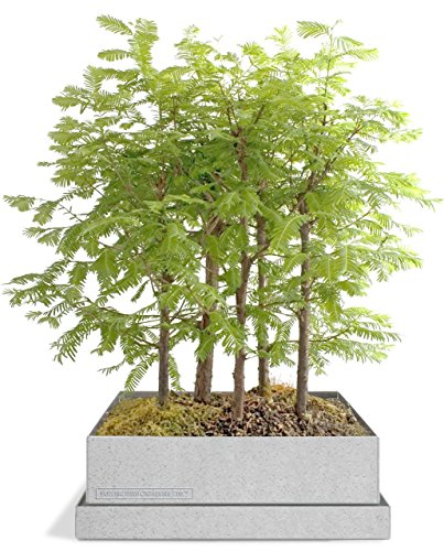 Dawn-Redwood-Forest-Bonsai-Box-0-1