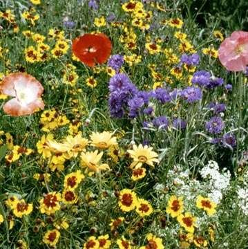 Dryland-Wild-Flower-Seed-Mix-0